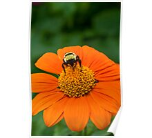 Tithonia Bee Poster