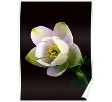 Helleborus Flower Poster