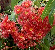 Flowering Gum - Australia by Graeme  Hyde