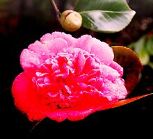 After the rains . . . the camelia flourishes by Margaret Morgan (Watkins)