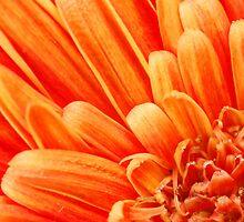 Orange Flower Closeup by mattiaterrando