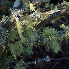 Lichen at the Blue Mountains. by waxyfrog