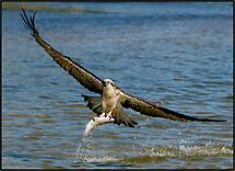 Osprey 443 by John Van-Den-Broeke