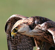 Juvenile Peregrine Falcon by Larry Trupp
