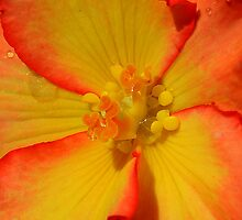 Begonia Flower 02 iphone, ipod case. by Magic-Moments