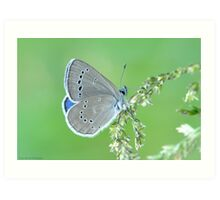 Silvery Blue  Art Print