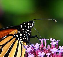 Monarch Tongue by Nancy Barrett