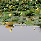 Lotus Reflection by Lynn Gedeon