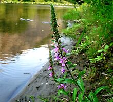 Purple Loosestrife by Jess Meacham