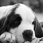 the tired 50lb puppy by Brian J Castro