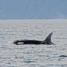 The Orca Mom and Babe  by Judy Grant