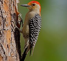 Red-bellied Woodpecker by William C. Gladish