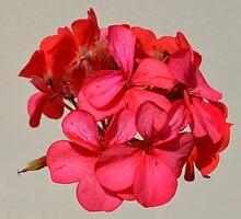 Red flower silhouette  by Prettyinpinks