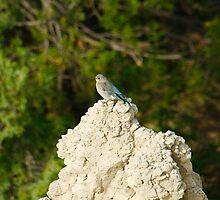 Female Mountain Blue Bird in Badlands National Park by Scott Hendricks