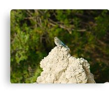 Female Mountain Blue Bird in Badlands National Park Canvas Print