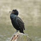 Double-crested Cormorant by KatMagic Photography