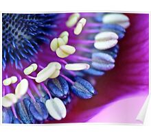 Anemone Beauty Poster