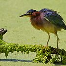 Green Heron by John Absher