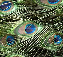 Peacock Feathers Close Up by Graham Geldard
