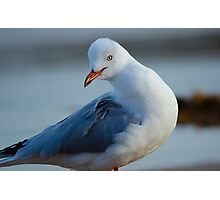 Silver gull, Royal National Park, Sydney Australia Photographic Print