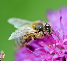 Bee with pollen, English garden, East Sussex by Emma M Birdsey