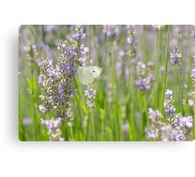 Cabbage in Lavender Canvas Print