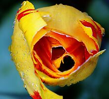 Yellow & Red Tulip by Lilliana Méndez