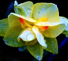 Rain Beaten Yellow Tulip by Lilliana Méndez