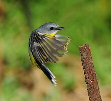 EASTERN YELLOW ROBIN II MARLO VIC. by helmutk