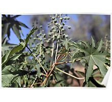 Fruits and leaves of the Castor oil plant (Ricinus). Poster