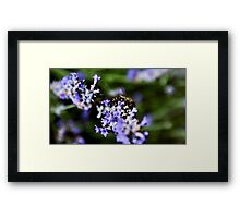 Bee on lavander  Framed Print