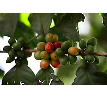 Green Coffee Beans Photographic Print