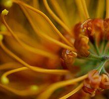 Orange Grevillea by Jaxybelle