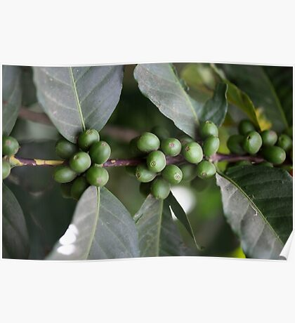 Green Coffee Beans Poster
