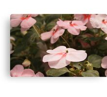 Pink Impatiens Canvas Print