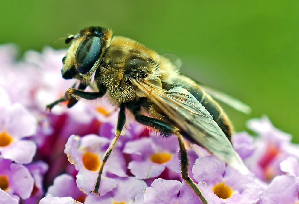 Myathropa Florae (true fly) by Paul Spear