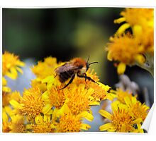 Bee on flowers Poster
