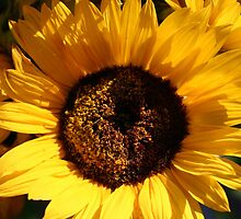 Sunflower by Melodee Scofield