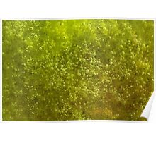 Green algae with air bubbles Poster
