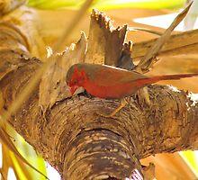 Concentration - Black bellied Crimson Finch by Stephen  Nicholson