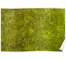 Green algae with air bubbles on a lake surface. Poster