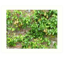 Espaliered Conference Pears Art Print