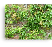 Espaliered Conference Pears Canvas Print
