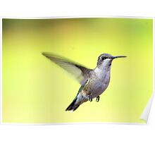 Little  Juvenile Humming Bird 2012 Poster