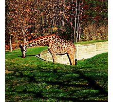 FALL SCENIC GIRAFFE APPAREL-PILLOWS-JOURNAL-TOTE BAG,DUVET,SCARF,MENS GRAPHICH TEE SHIRTS ECT... Photographic Print
