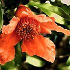 Orange Pomegranate Flower by Sharon Woerner