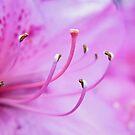 Pink Azalea Flower by Sharon Woerner