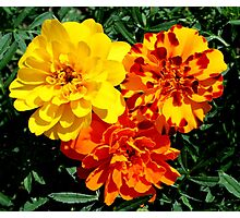 Flowers Marigolds Yellow Orange Rust Photographic Print
