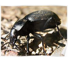 Beetle Ground Beetles Carabus Insect Nature Poster