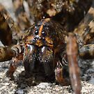 Face Of The Carolina Wolf Spider by Kathy Baccari